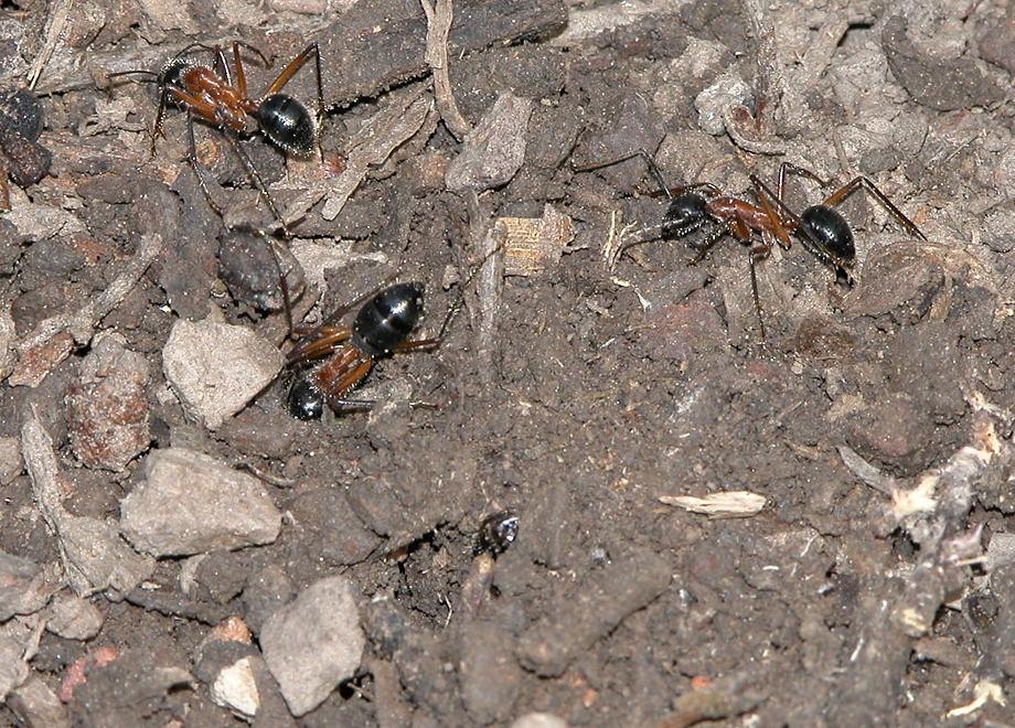 Black-headed Sugar Ant - Camponotus nigriceps
