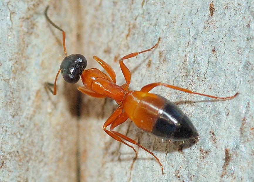do black ants bite - 866×621