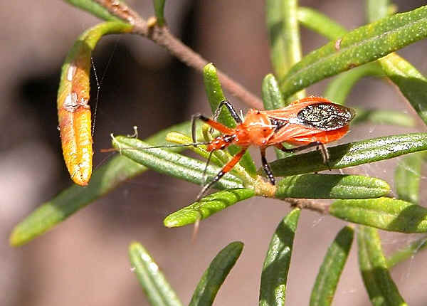 Orange Assassin Bug Gminatus Australia