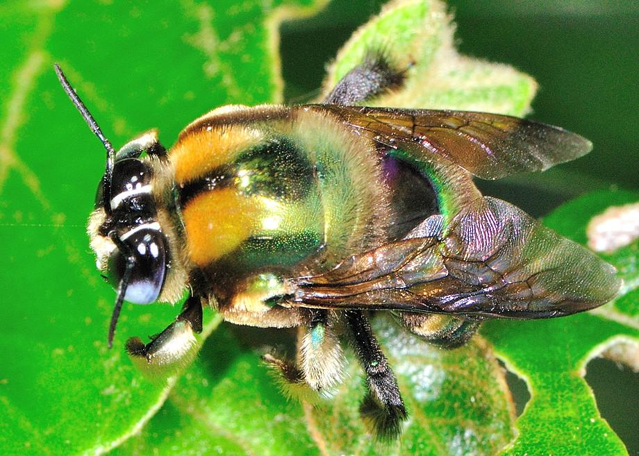 Green Carpenter Bee Xylocopa Lestis Aeratus