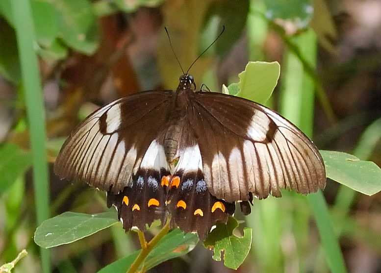 Witness The Orchard Swallowtail Butterfly While Standing