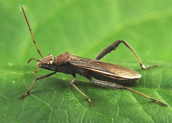 Small Brown Bean Bug - Melanacanthus scutellaris