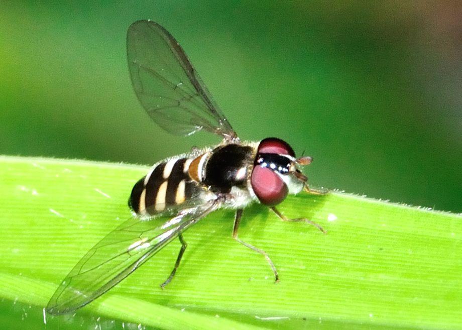 Black-headed Hover Fly