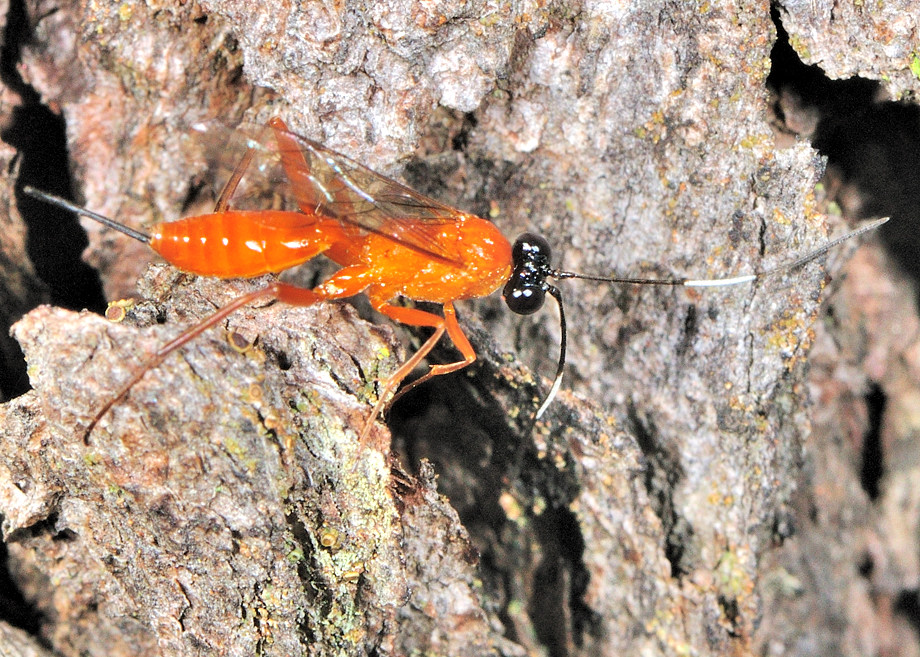 Black Headed Orange Parasite Wasp Stiromesostenus Sp