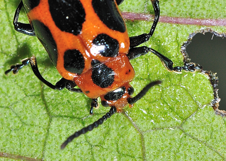 daisy_9-Spotted Leaf Beetle - Phyllocharis cyanicornis