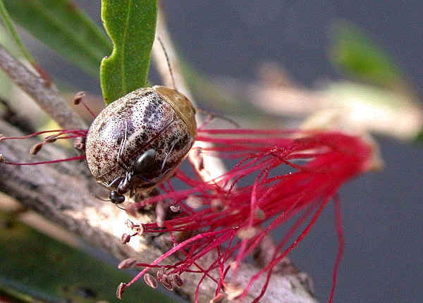 Marble Leaf Beetle Paropsisterna Semifumata