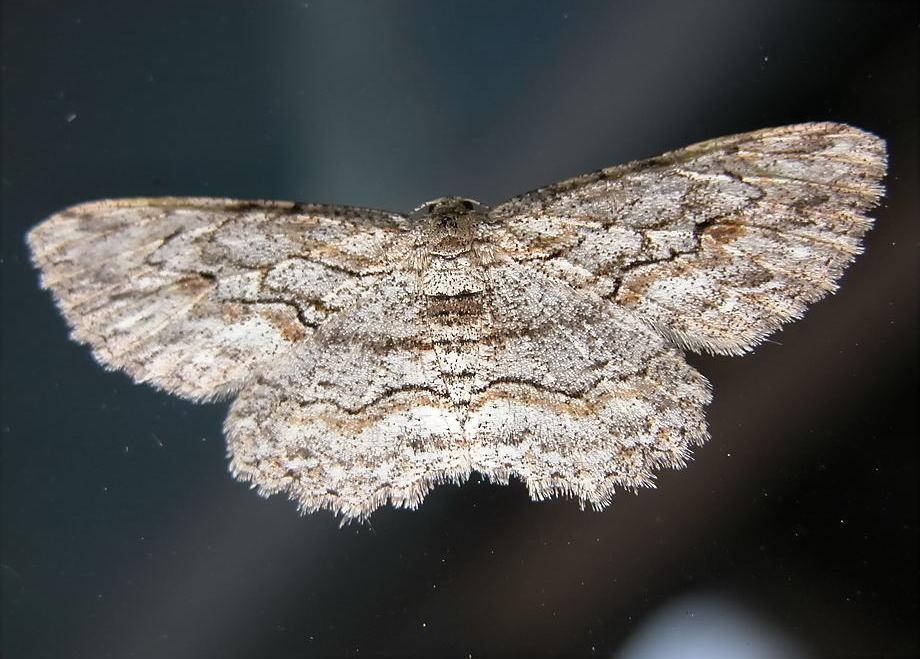 Bark Looper Moth Ectropis Subtinctaria