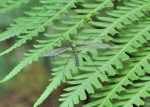 Chironomidae Biology