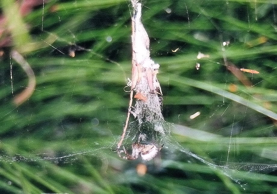 Russian Tent Spider Cyrtophora Parnasia Or C Hirta