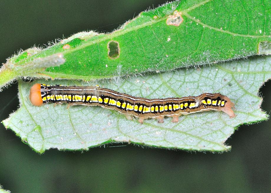 pissing-green-caterpillar-orange-strip-nudist-sister-naked