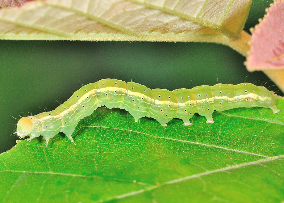 Cotton Semi Looper Moth Anomis Flava
