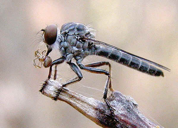 Robber Flies - Family Asilidae Fly Eyes