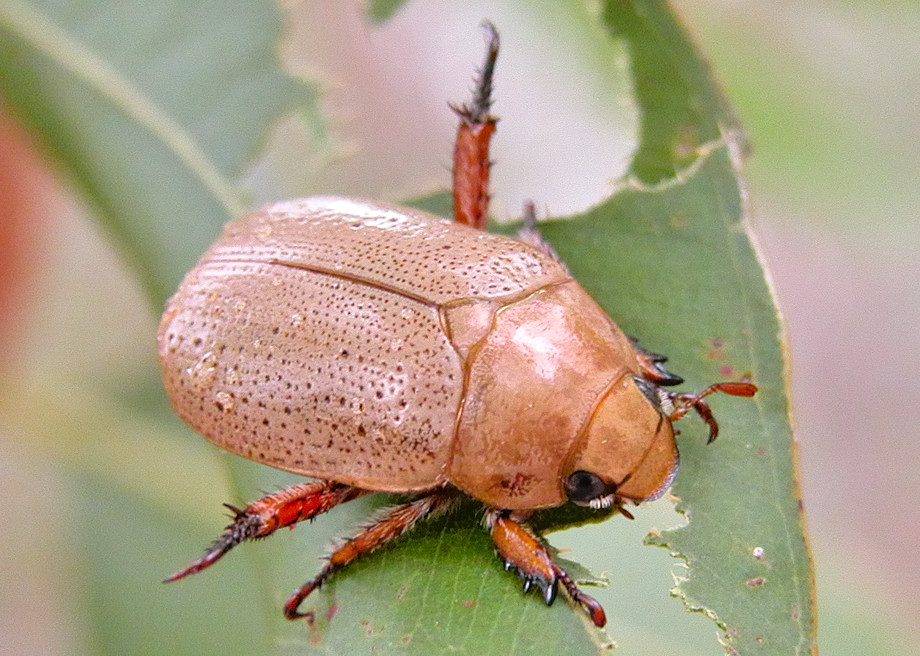 Christmas Beetle.White Christmas Beetle Anoplognathus Pallidicollis