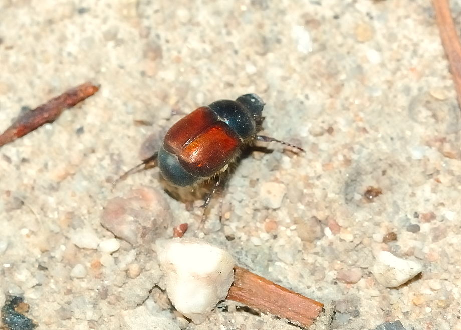 small brown scarab