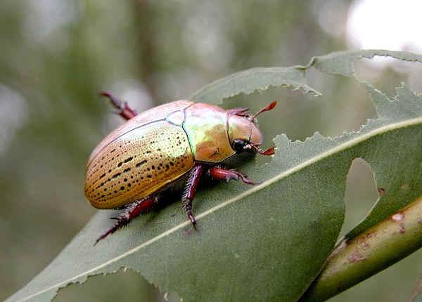 Australian Christmas Beetle.Common Christmas Beetle Anoplognathus Porosus