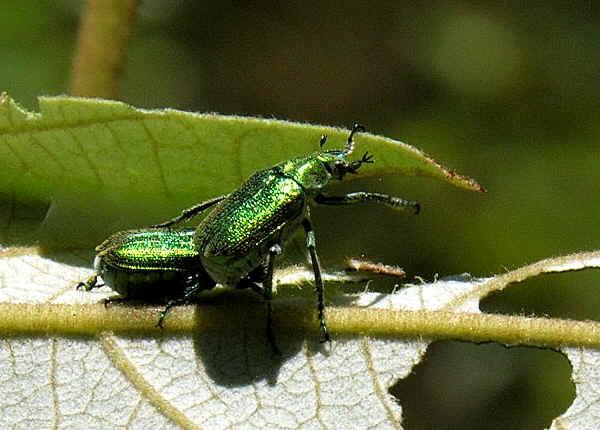Green Scarab Beetle Diphucephala Sp