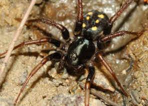 9 Dotted Ground Spider Habronestes Hunti