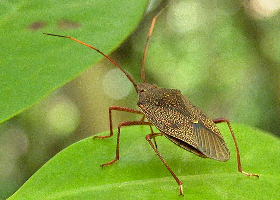 Two Dots Shield Bug Poecilometis Monteithi