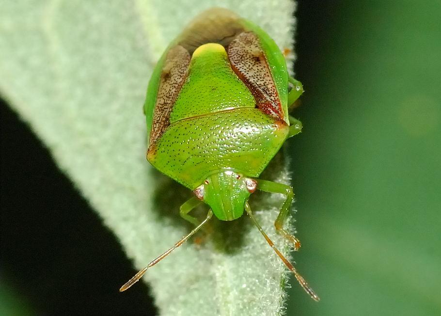 Green Stink Bug Plautia Affinis
