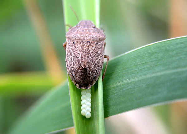 Small Brown Stink Bug Caystrus Pallidolimbatus