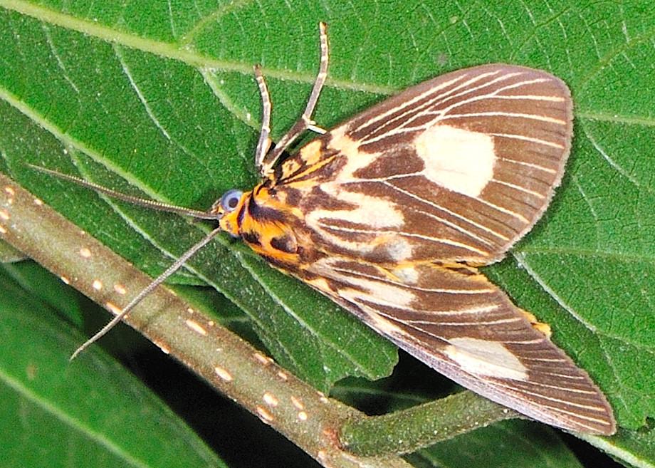 Two Spots Tiger Moth Asota Plagiata