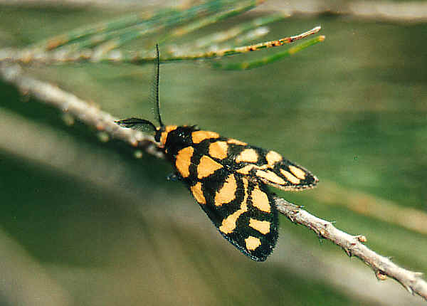 Lydia Lichen Moth Asura Lydia