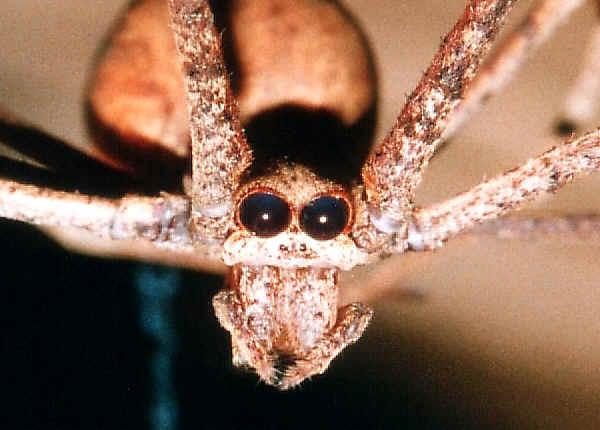 Common Net-casting Spider - Deinopis ravidus